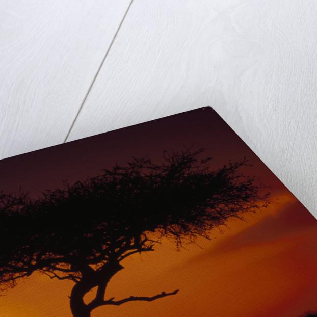 Acacia Tree at Sunset by Corbis