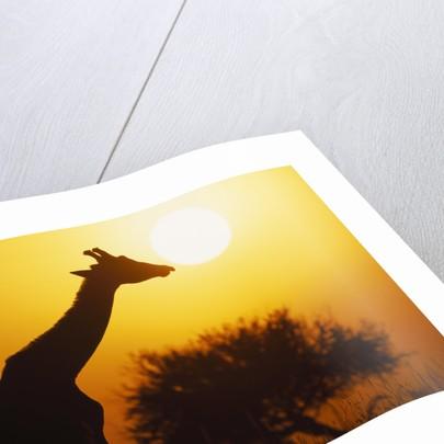 Silhouette of Giraffe at Sunrise by Corbis