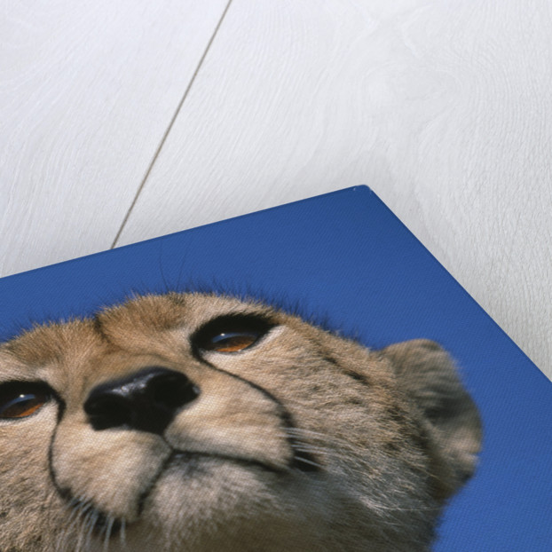 Close-up of Cheetah by Corbis