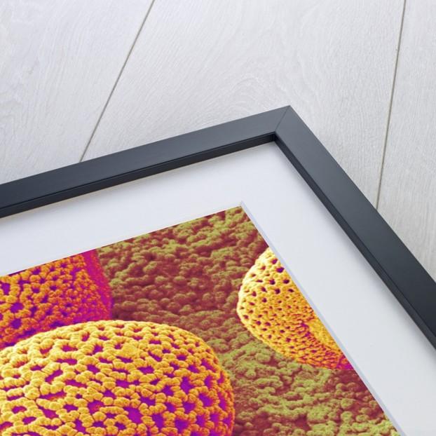 Lily Pollen by Corbis