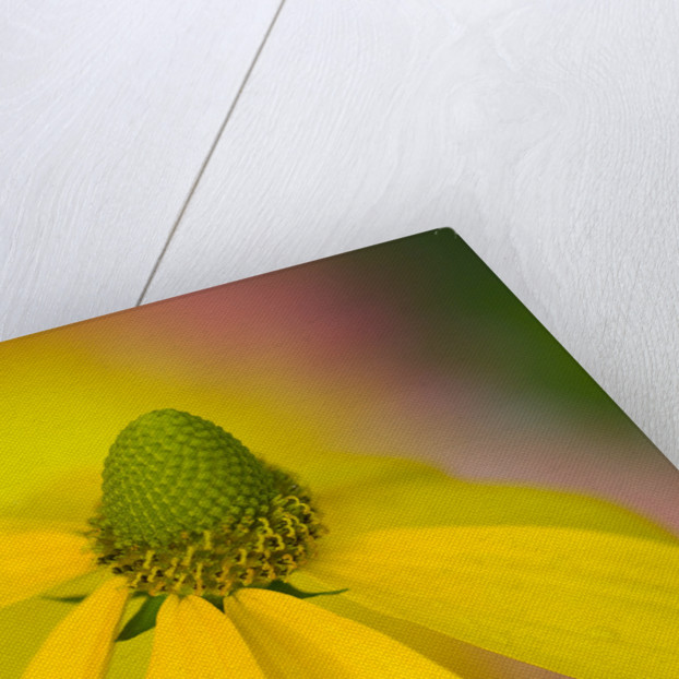 Close-up of Yellow Coneflower by Corbis