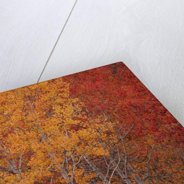 Deciduous Trees in Autumn by Corbis