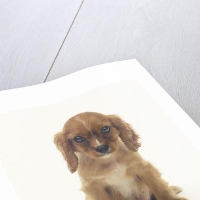 Cavalier King Charles Spaniel Puppy by Corbis