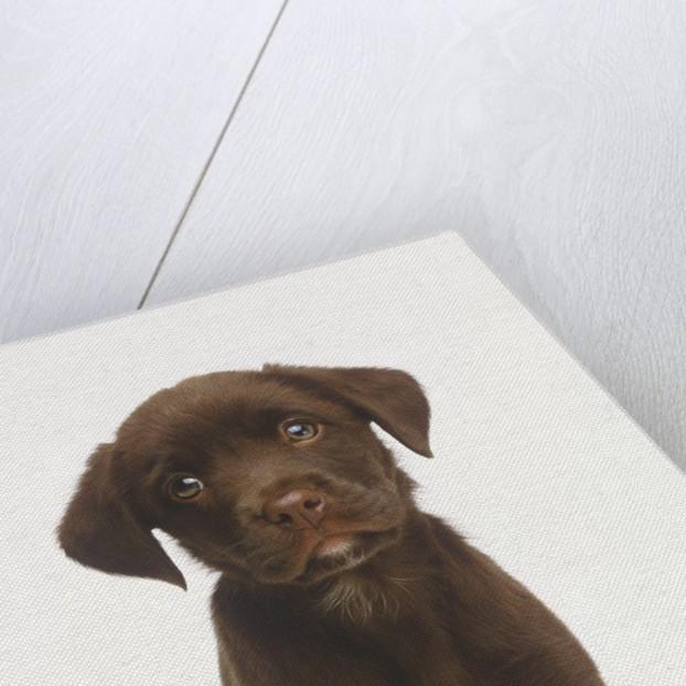 Sad Puppy by Corbis
