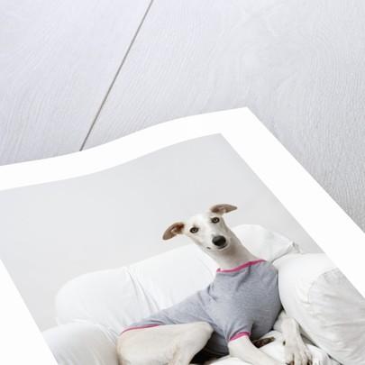 Greyhound Wearing a T-Shirt by Corbis