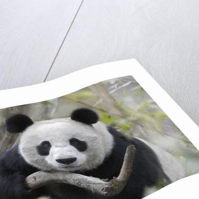 Giant Panda by Corbis