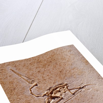 Pterodactyl Fossil by Corbis