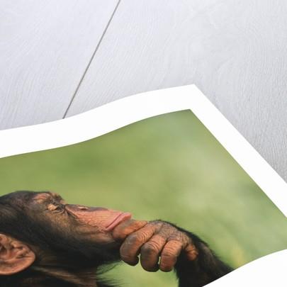 Chimpanzee Resting Chin in Hand by Corbis