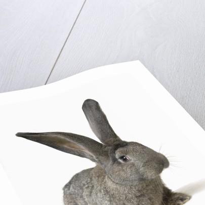 Gray Rabbit by Corbis