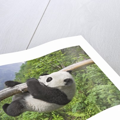 Giant Panda Cub Hanging From Tree Trunk by Corbis