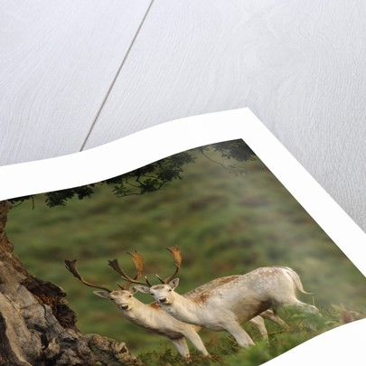 White Fallow Deer Stags Standing by Tree by Corbis