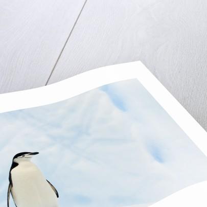 Chinstrap Penguin Standing on Iceberg by Corbis