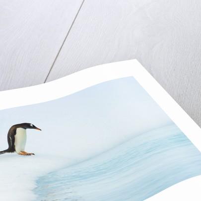 Gentoo Penguins Preparing to Jump in Water by Corbis