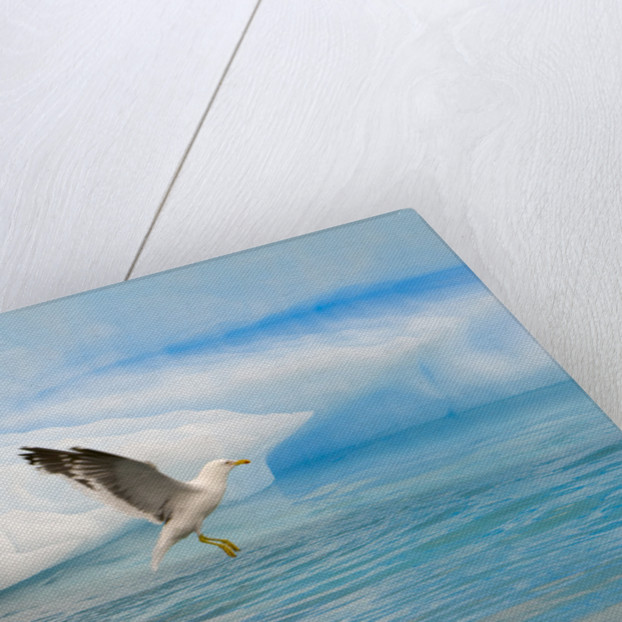 Dominican Seagulls by Iceberg by Corbis