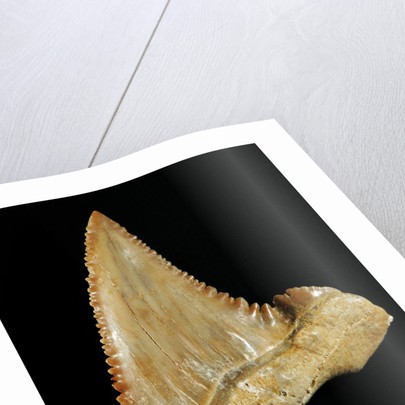 Tooth from Great White Shark by Corbis