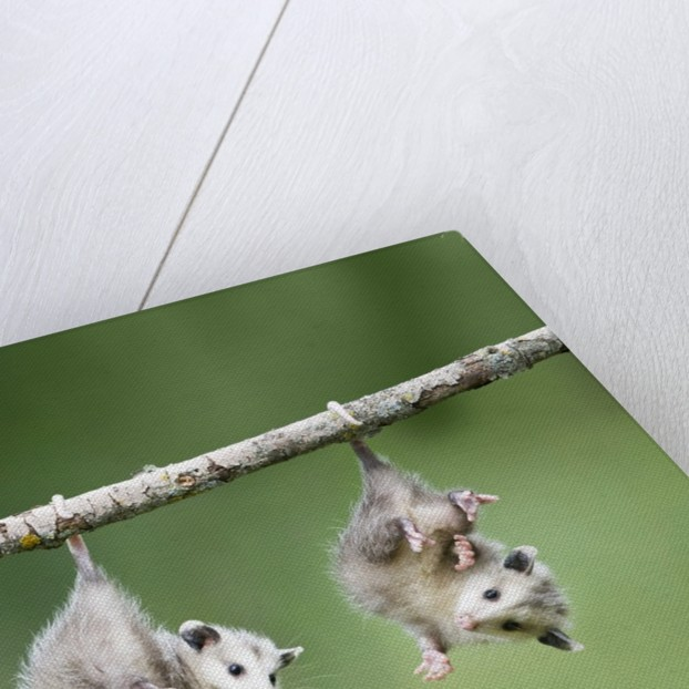 Baby Opossum Hanging from Branch by Corbis