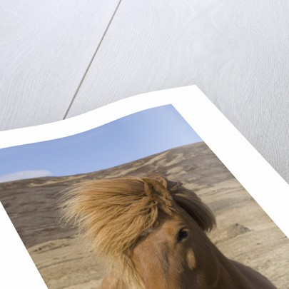 Icelandic Horse on the Snaefellsnes Peninsula by Corbis