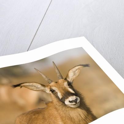 Roan Antelope in Zambia by Corbis