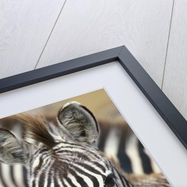 Zebras in Masai Mara National Reserve by Corbis
