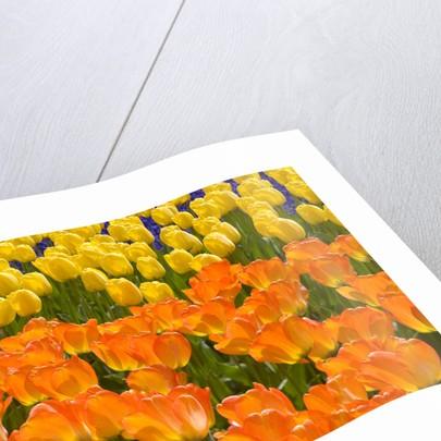 Orange and Yellow Tulips by Corbis