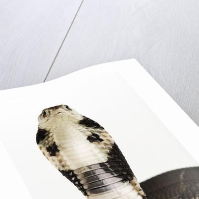 Chinese Cobra by Corbis