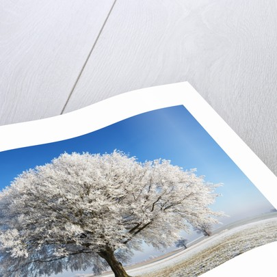 Lime Tree Covered with Frost Germany by Corbis