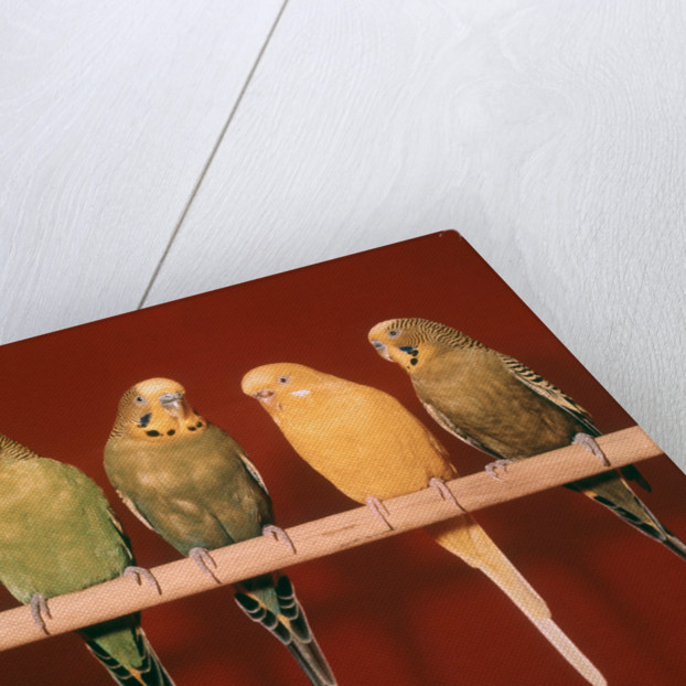 1970s Five Pet Parakeets Perched Against Red Background by Corbis