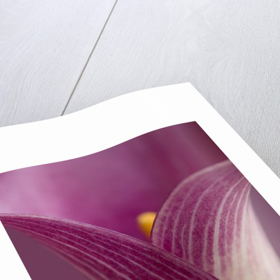 Close-up of Calla Lily by Corbis