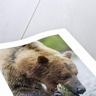 Brown Bear Fishing in Salmon Stream in Alaska by Corbis