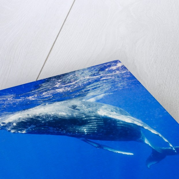 Underwater View of Humpback Whale Resting at Surface by Corbis