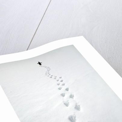 Gentoo Penguin Walking and Leaving Footprints in Snow by Corbis