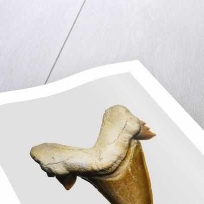 Fossil mackerel shark tooth by Corbis
