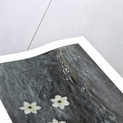 Four flowers floating on water by Corbis