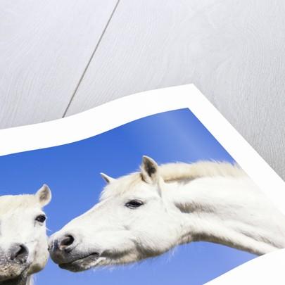 Camargue Horses by Corbis