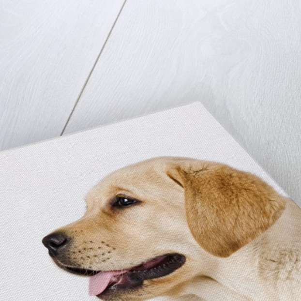 Golden Labrador Retriever Puppy by Corbis
