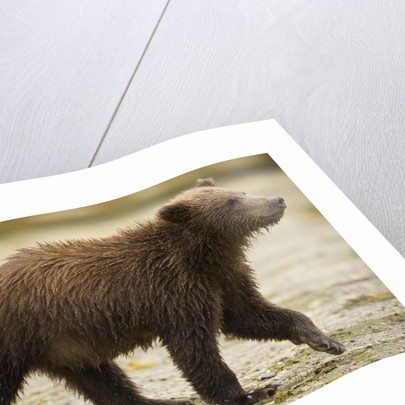 Brown Bear Cub at Geographic Harbor in Katmai National Park by Corbis