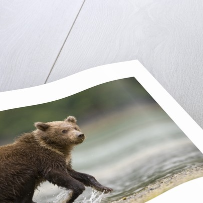 Brown Bear Cub on Beach at Geographic Harbor by Corbis