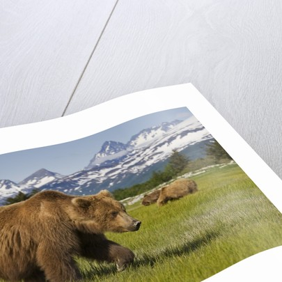 Grizzly Bears at Hallo Bay in Katmai National Park by Corbis