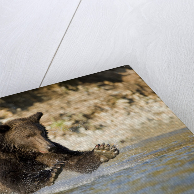 Grizzly Bear Hunting Spawning Salmon in River at Kinak Bay by Corbis