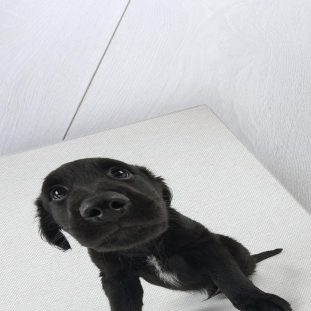 Puppy Looking at Camera by Corbis