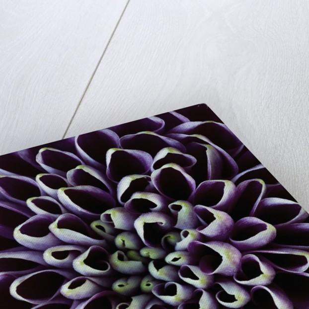 Close-up of Chrysanthemum Flower by Corbis