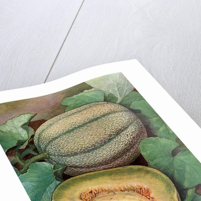 Illustration of ripe melons on the vine by Corbis