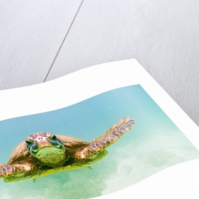 Green Sea Turtle by Corbis