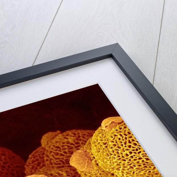 Geranium pollen in anther by Corbis