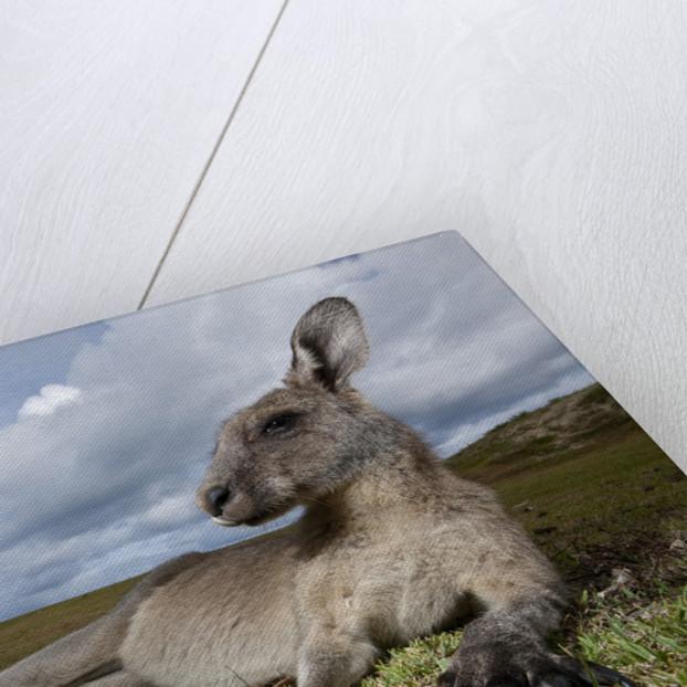 Eastern Gray Kangaroo in Murramarang National Park by Corbis
