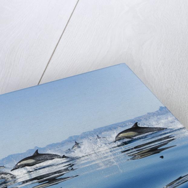 Common dolphin (delphinus delphis) Gulf of California Mexico. by Corbis