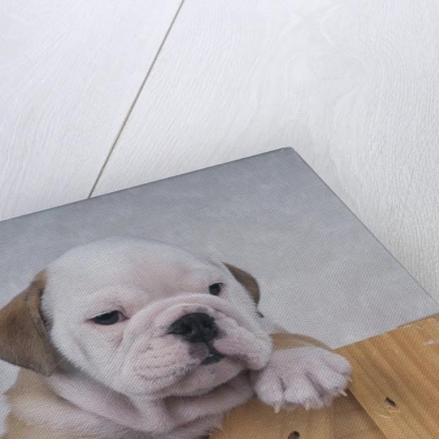 Bulldog in Wooden Box by Corbis