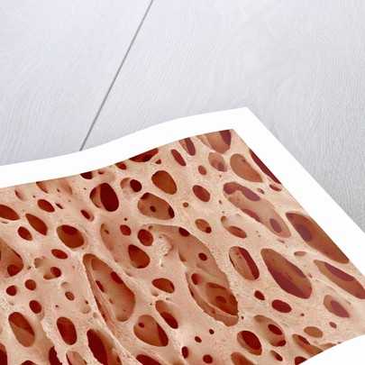 Bone tissue of a hen magnified x25 by Corbis
