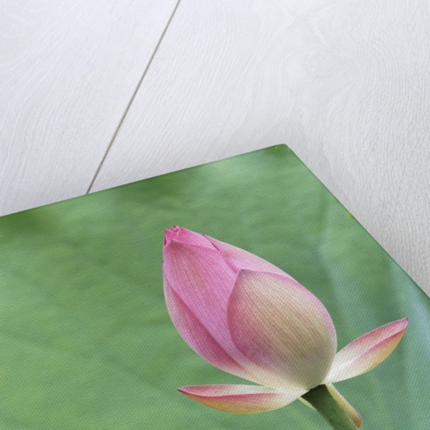 Lotus flower in Lou Lim Ieoc Garden in Macau by Corbis