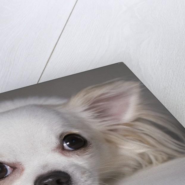 Chihuahua by Corbis